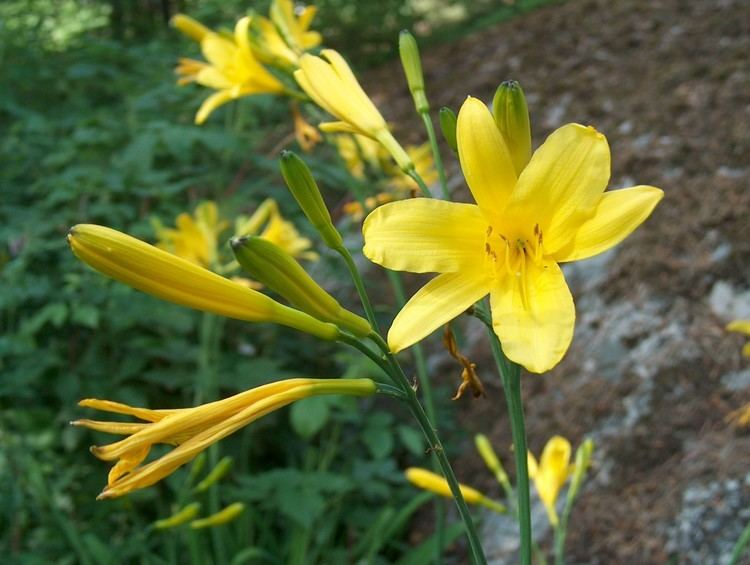 Hemerocallis lilioasphodelus httpssmediacacheak0pinimgcomoriginalsfa