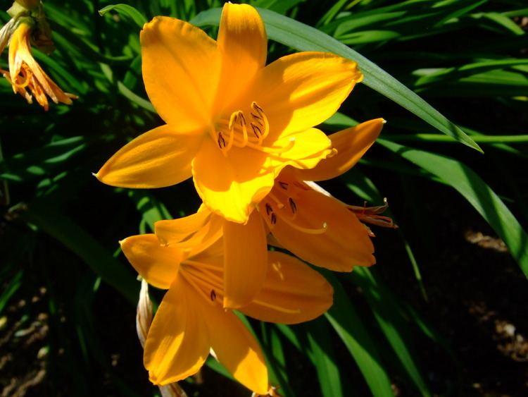 Hemerocallis middendorffii FileHemerocallis middendorffii Missouri Botanical Gardenjpg