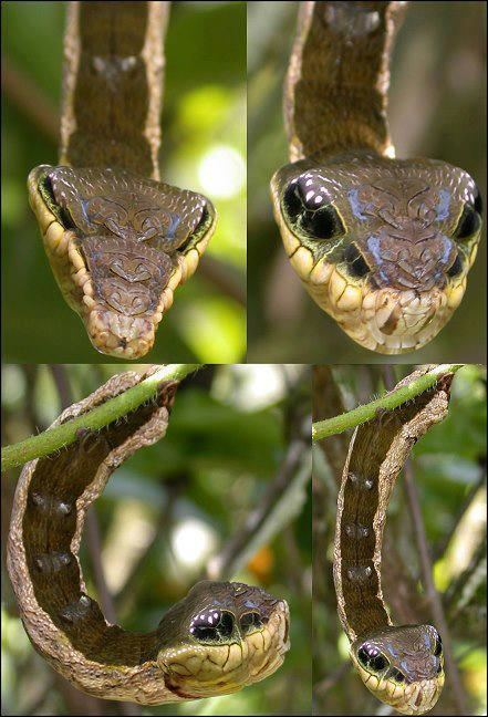Hemeroplanes triptolemus This is the Hemeroplanes triptolemus MOTH whose larval form has the