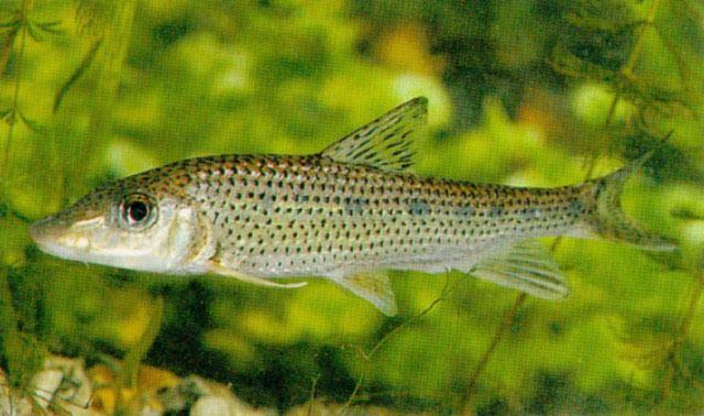 Hemibarbus wwwfishbaseorgimagesspeciesHelonu5jpg