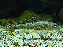Hemibarbus mylodon httpsuploadwikimediaorgwikipediacommonsthu