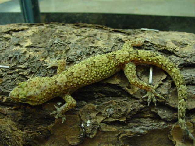 Hemidactylus brookii Hemidactylus brookii