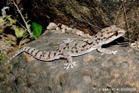 Hemidactylus brookii hemidactylus brookii Gallery