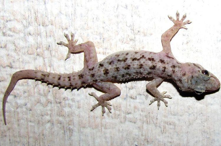 Hemidactylus brookii Brook39s House Gecko Hemidactylus brookii iNaturalistorg