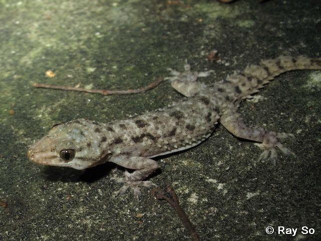 Hemidactylus brookii wwwbioschhkuhkecologyhkreptileslizardimages