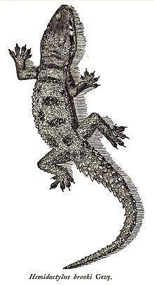 Hemidactylus brookii Hemidactylus brookii Wikipedia