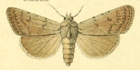 Hemiexarnis moechilla