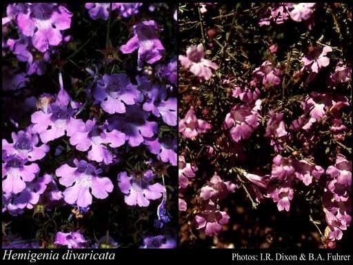 Hemigenia Hemigenia divaricata CAGardner FloraBase Flora of Western Australia