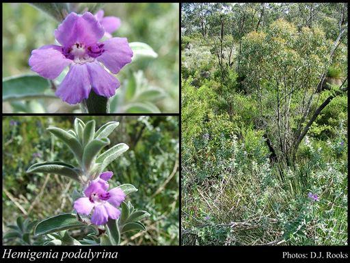 Hemigenia Hemigenia podalyrina FMuell FloraBase Flora of Western Australia