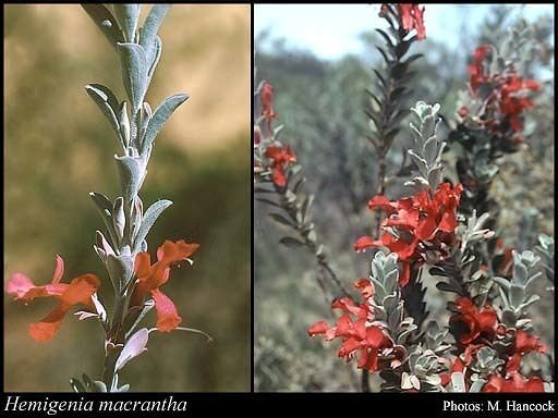 Hemigenia Hemigenia macrantha FMuell FloraBase Flora of Western Australia