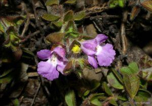 Hemigenia Hemigenia sericea Seeds AZ Seeds H