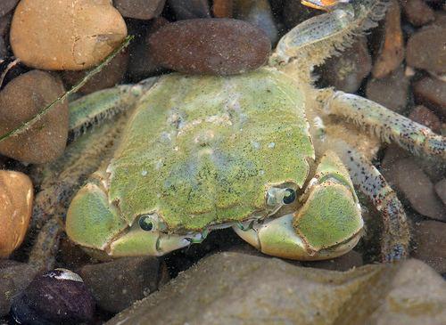 Hemigrapsus oregonensis CalPhotos Hemigrapsus oregonensis Green Shore Crab