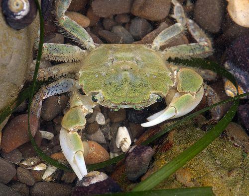 Hemigrapsus oregonensis Hemigrapsus oregonensis Oregon shore crab Brachynotus oregonensis