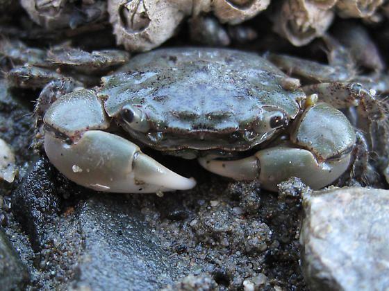 Hemigrapsus oregonensis Oregon Shore Crab Hemigrapsus oregonensis BugGuideNet