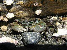 Hemigrapsus oregonensis httpsuploadwikimediaorgwikipediacommonsthu