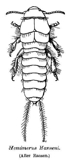 Hemimerus httpsuploadwikimediaorgwikipediacommonscc