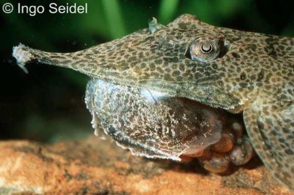 Hemiodontichthys acipenserinus Hemiodontichthys acipenserinus Nasenharnischwels myfish