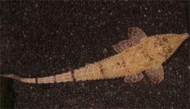 Hemiodontichthys acipenserinus diszhalinfohalakHemiodontichthysacipenserinus5jpg
