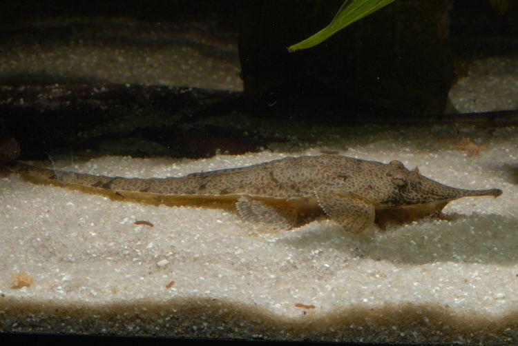 Hemiodontichthys acipenserinus Hemiodontichthys acipenserinus