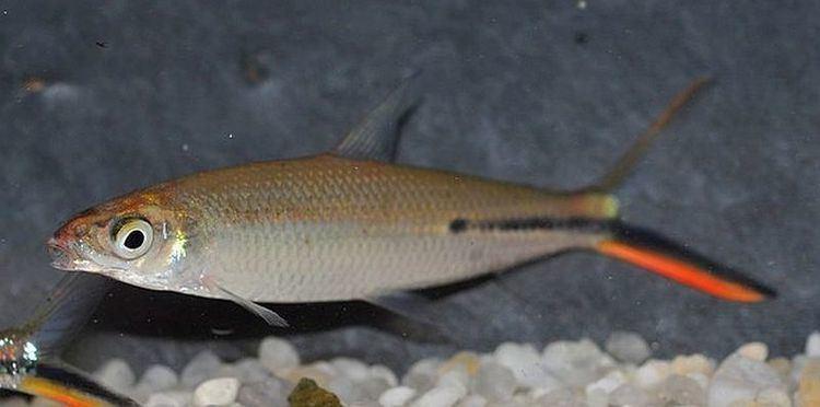 Hemiodus Red Tail Hemiodus Tetra Hemiodus gracilis Tropical Fish Keeping