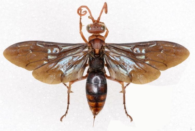 Hemipepsis Hemipepsis glabrata WaspWeb