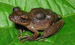 Hemiphractidae httpsuploadwikimediaorgwikipediacommonsthu