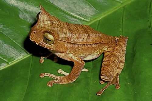 Hemiphractidae Family Hemiphractidae Costa Rican Amphibian Research Center