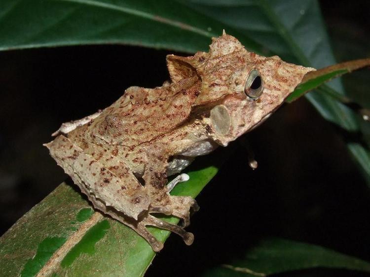 Hemiphractidae Hemiphractidae Batrachoscom