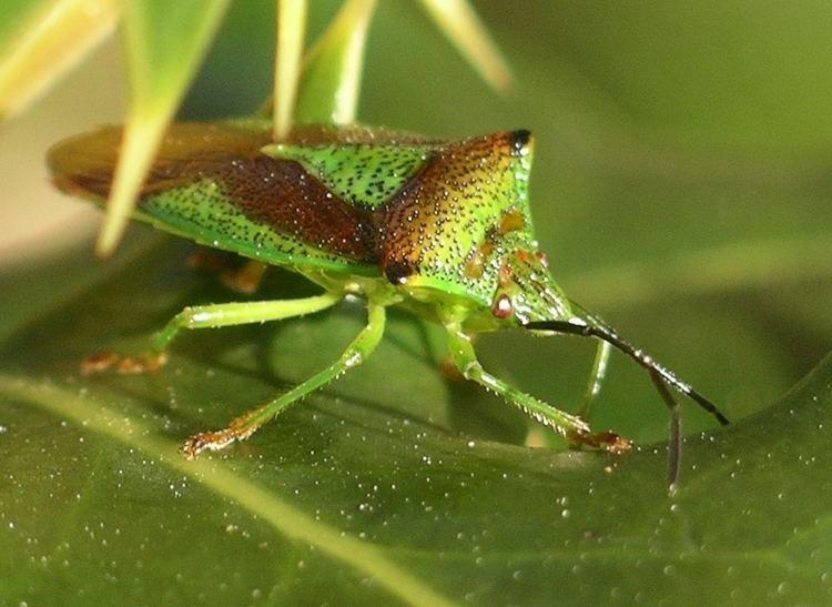 Hemiptera Hemiptera Wikipedia