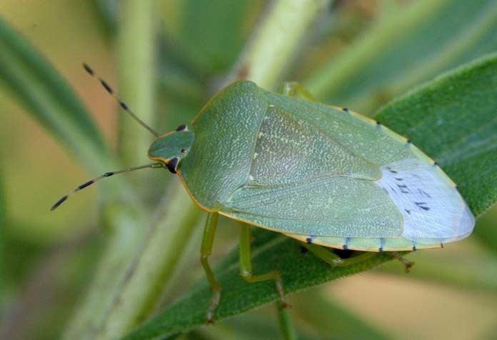 Hemiptera Hemiptera True Bugs Wildlife Journal Junior
