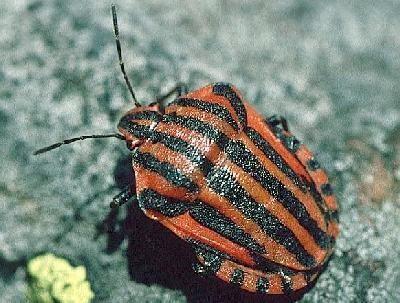 Hemiptera Gordon39s Hemiptera Page