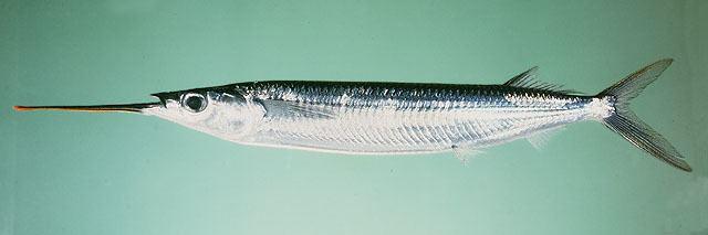 Hemiramphus Fish Identification