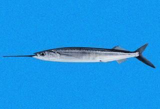 Hemiramphus Hemiramphus saltator Longfin Halfbeak Discover Life