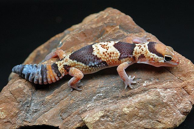 Hemitheconyx African Fat Tailed Gecko Facts and Pictures Reptile Fact
