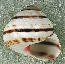 Hemitrochus httpsuploadwikimediaorgwikipediacommonsthu