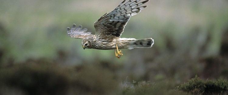Hen harrier The RSPB Hen harrier