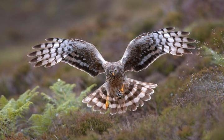 Hen harrier Countryside groups split over hen harrier conservation plan