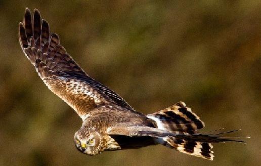 Hen harrier Hen Harrier