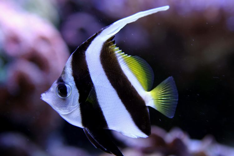 Heniochus Heniochus diphreuteshow many Reef Central Online Community
