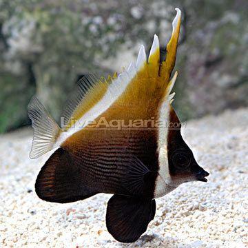 Heniochus Heniochus Brown Butterflyfish
