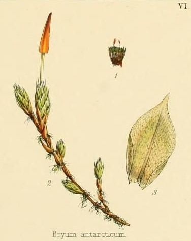Hennediella heimii