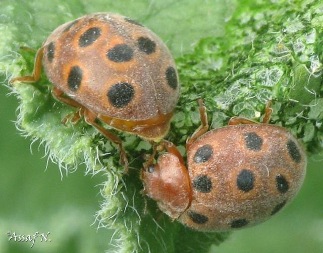 Henosepilachna insectsnet46netgallerymainphpg2viewcoreDo