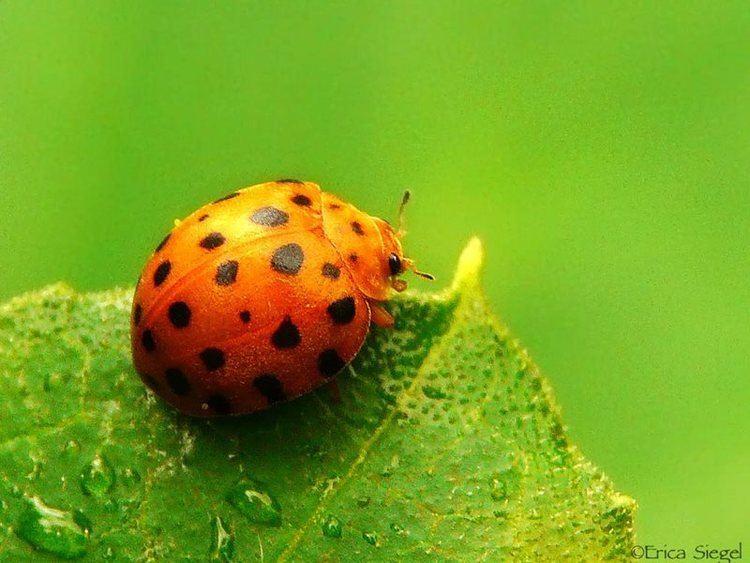 Henosepilachna vigintioctopunctata 28spotted Potato Ladybird Epilachna vigintioctopunctata synonym