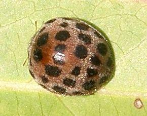 Henosepilachna vigintioctopunctata Henosepilachna vigintioctopunctata Wikipdia