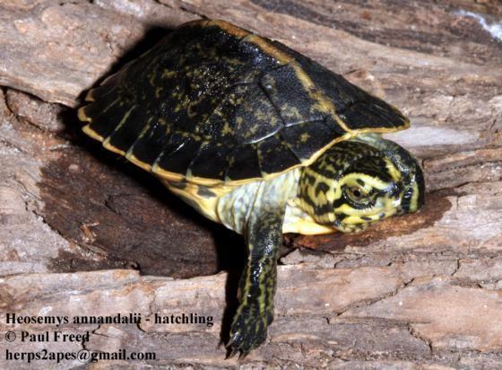 Heosemys Heosemys annandalii The Reptile Database