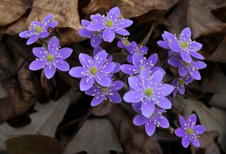 Hepatica Hepatica Auntie Dogma39s Garden Spot