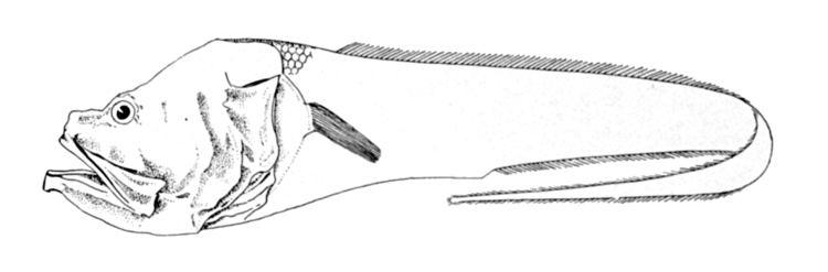 Hephthocara
