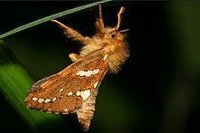 Hepialidae Hepialidae Wikipedia