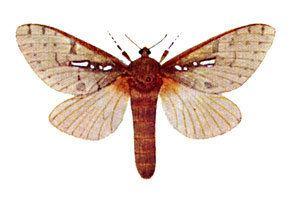 Hepialidae Hepialidae