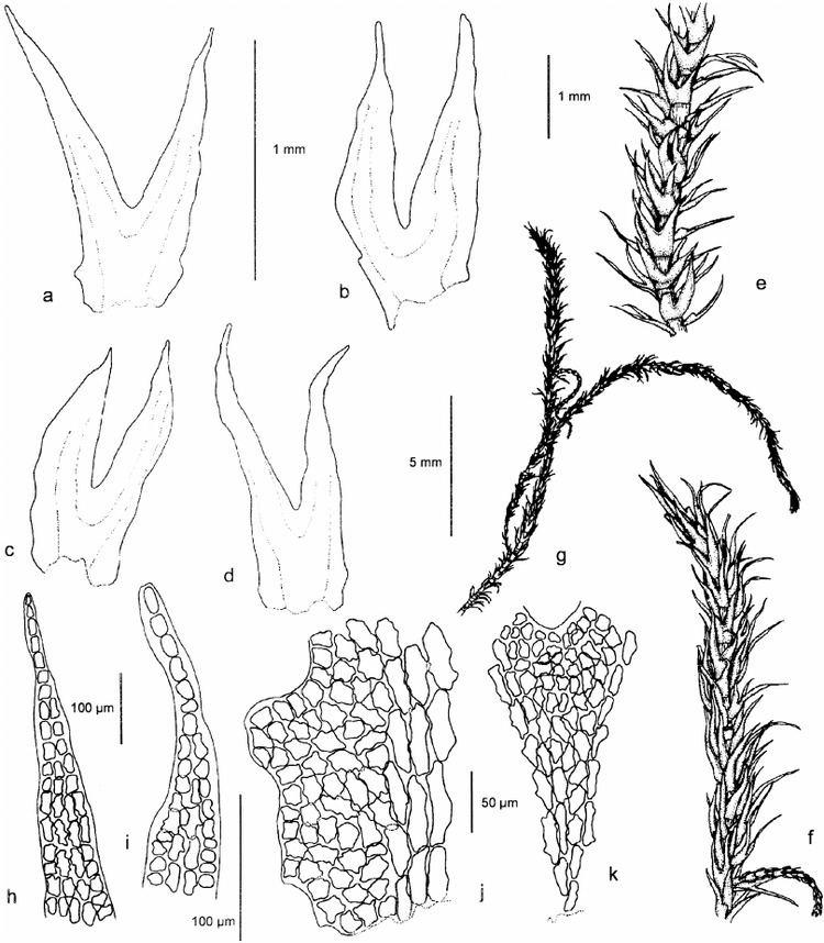 Herbertus Herbertus aduncus subsp aduncus all from 51204 H a and